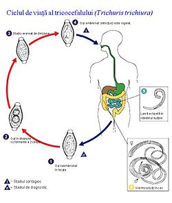 faze ale unui vierme)