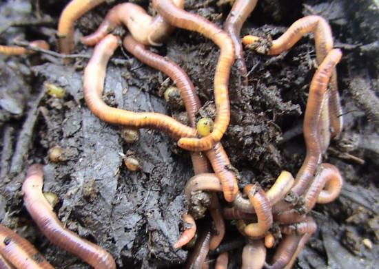 cum să obțineți viermi viermi
