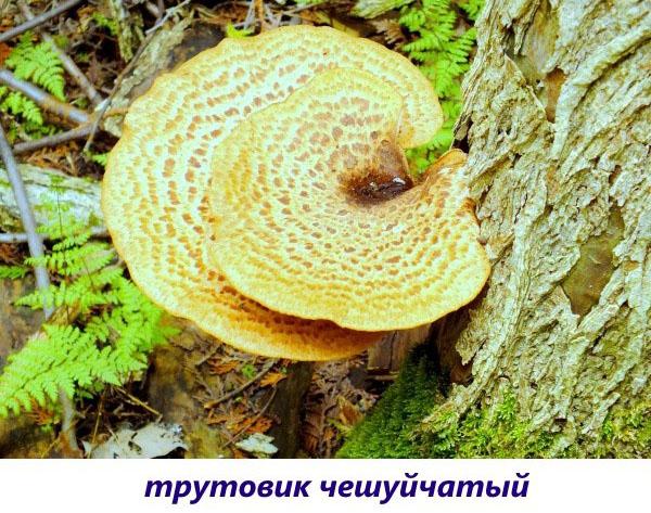alege o ciupercă parazită)