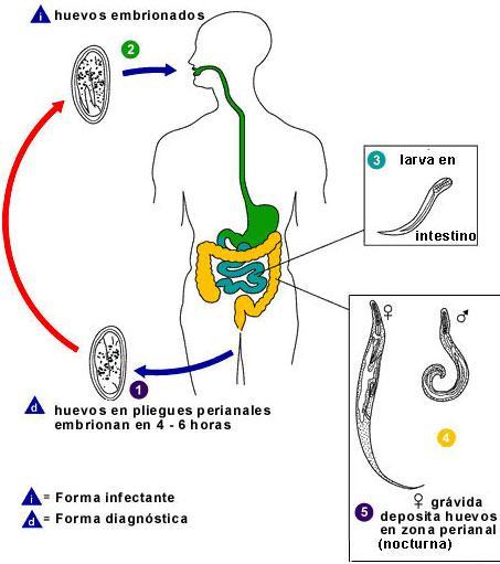 oxiuros ciclo intraductal papilloma salivary gland
