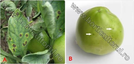 cancerul bacterian al tomatelor)