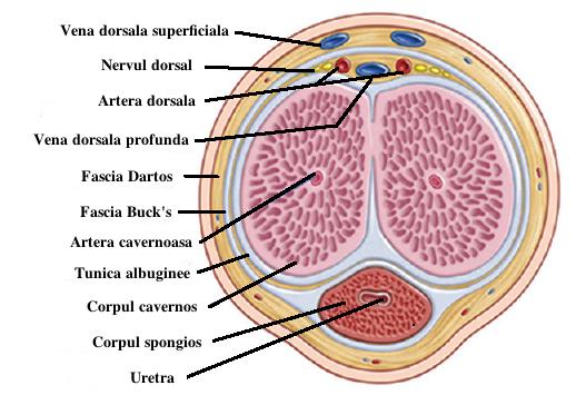 condiloame în uretra unui bărbat