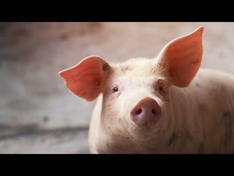 tratamentul nematodei porcine