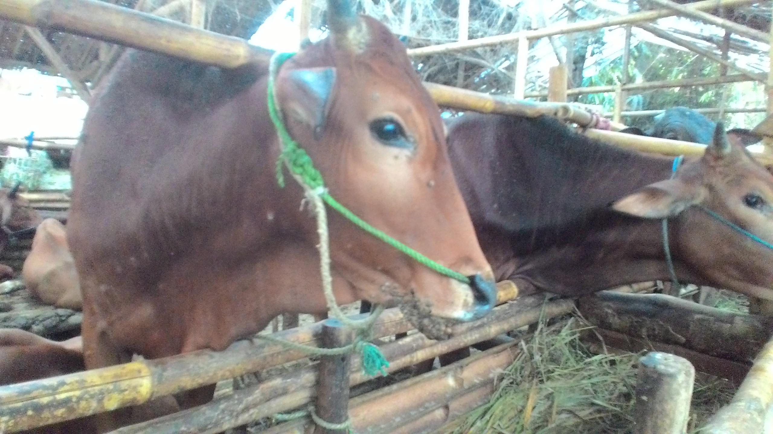 papillomatosis atau kutil pada sapi)