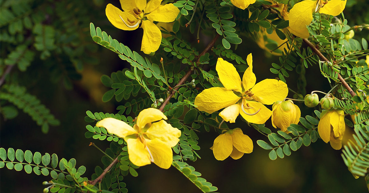 detox colon senna
