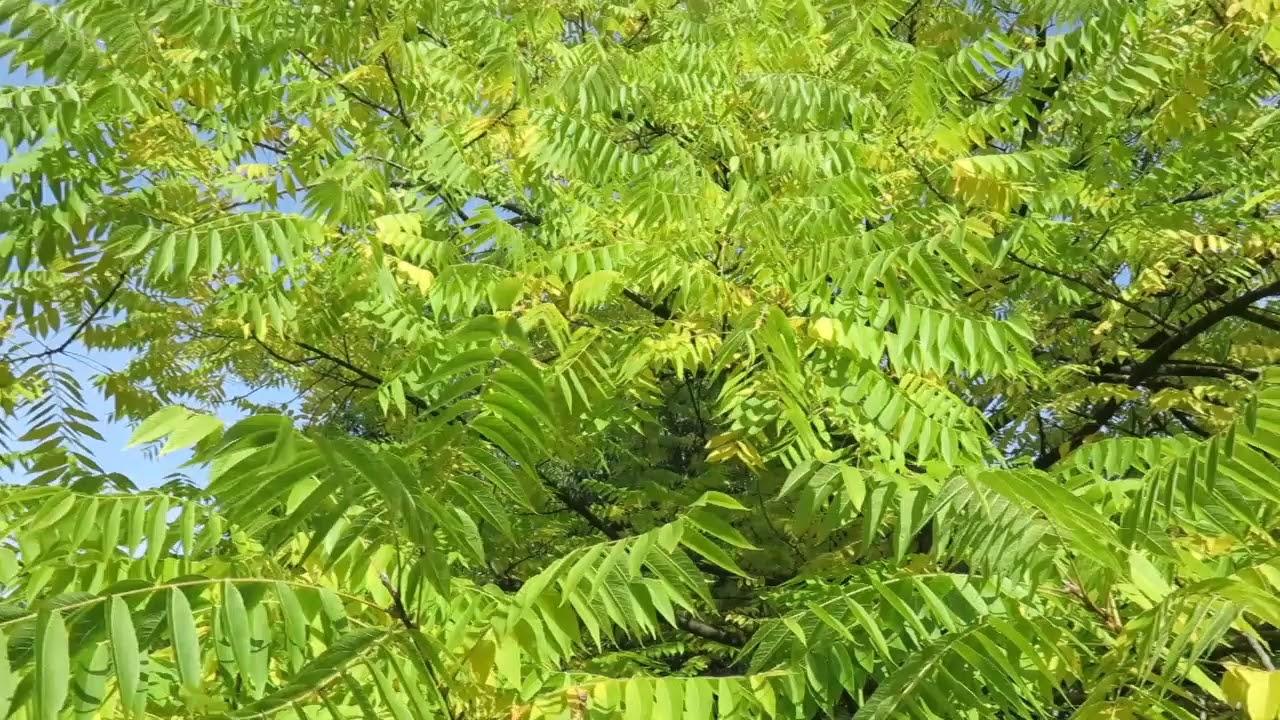 juglans nigra paraziți