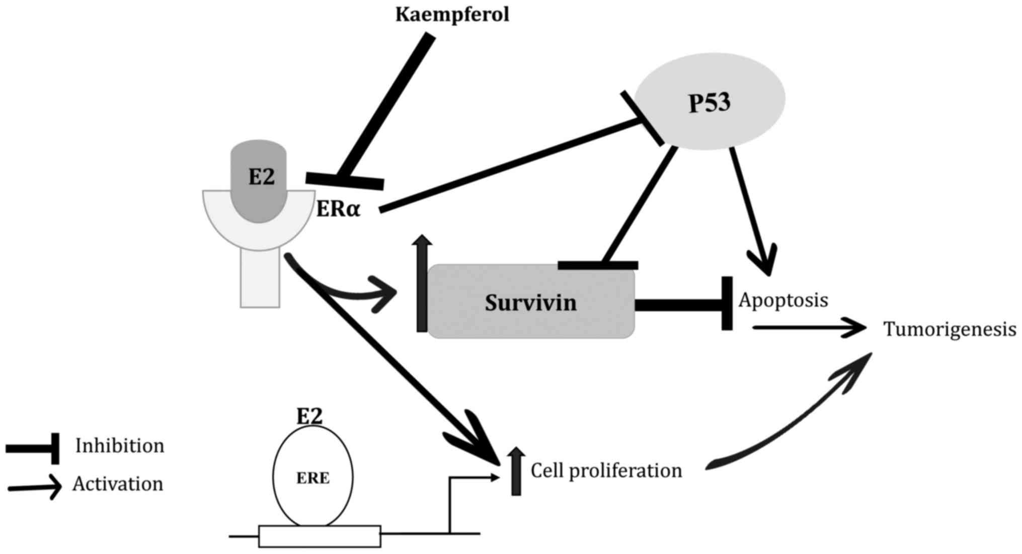 endometrial cancer and estrogen)