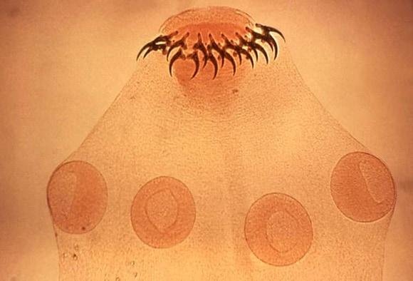 cum arată un vierme adult