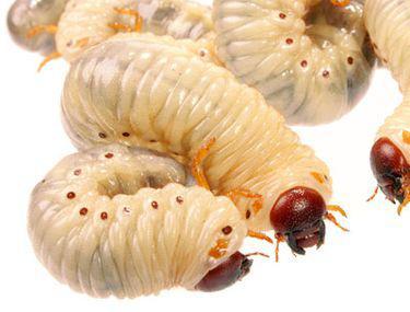 așa numita boală a viermilor)