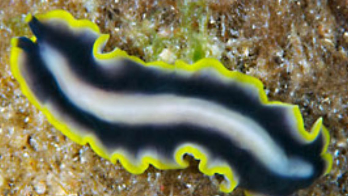 forma de platyhelminthes planaria