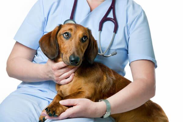 Tratamento para vermes oxiuros, Giardia verme em cachorro