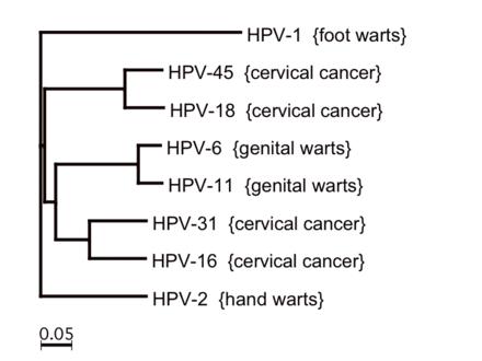 Human papillomavirus especially strains 16 and 18, Human papillomavirus vaccine strains