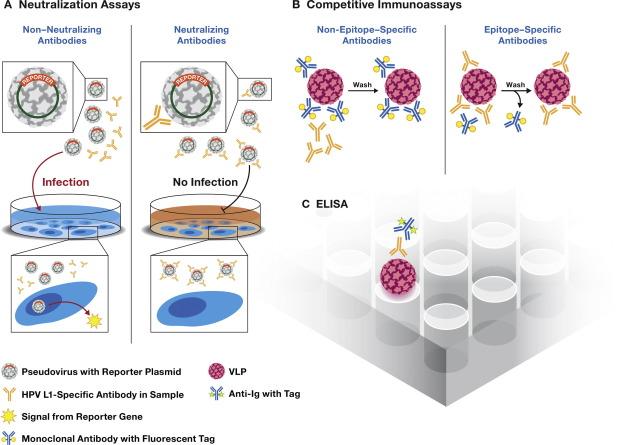 human papillomavirus vaccine antibodies