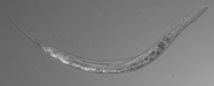 la oameni, viermele a paraziți și protozoare specifice