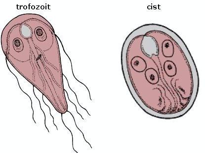 lamblia paraziti