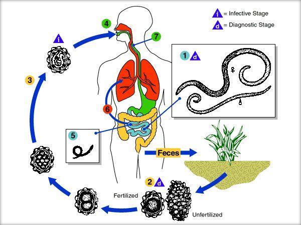în patogeneza fascioliazei)