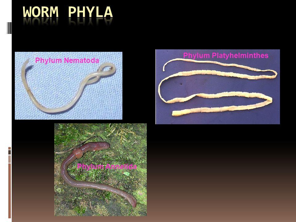Phylum anvelope-janteauto.ro5f Phylum platyhelminthes nematoda annelida
