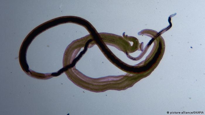 Examen coproparazitologic | Synevo, Paraziți specifici speciilor