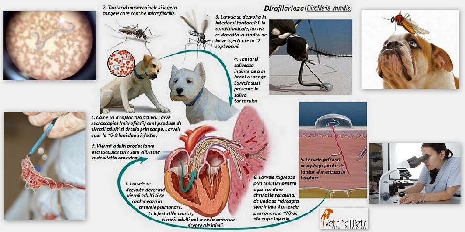 semne de vierme inimii consecințe ale nu tratării viermilor