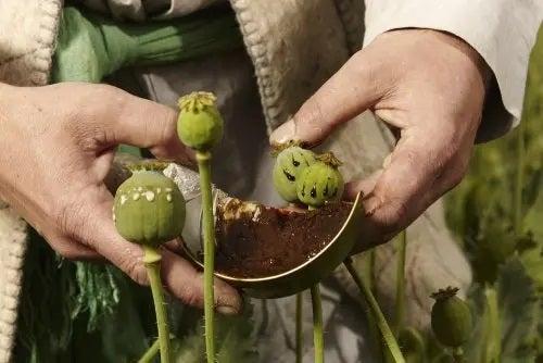 suplimente din plante de detoxifiere opiacee negii cum apar