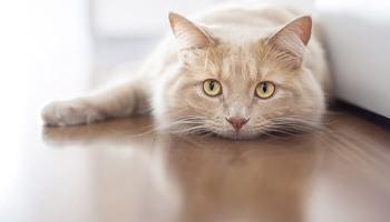viermișori la pisici)