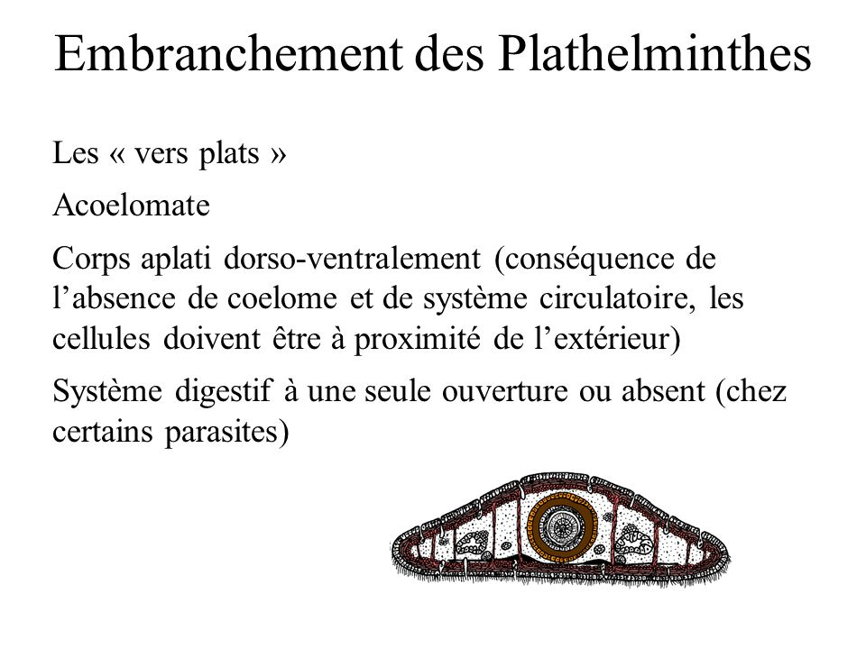 CIROZA HEPATICA - PowerPoint PPT Presentation - Phylum platyhelminthes ppt