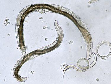 așa numitele viermi mici