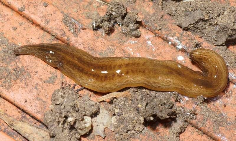 habitatul platyhelminthes cervicale)