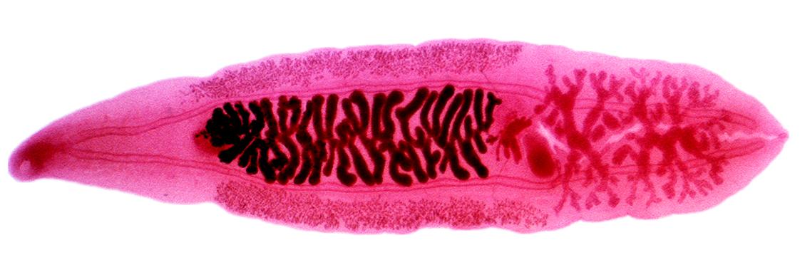 parazit hepatic)
