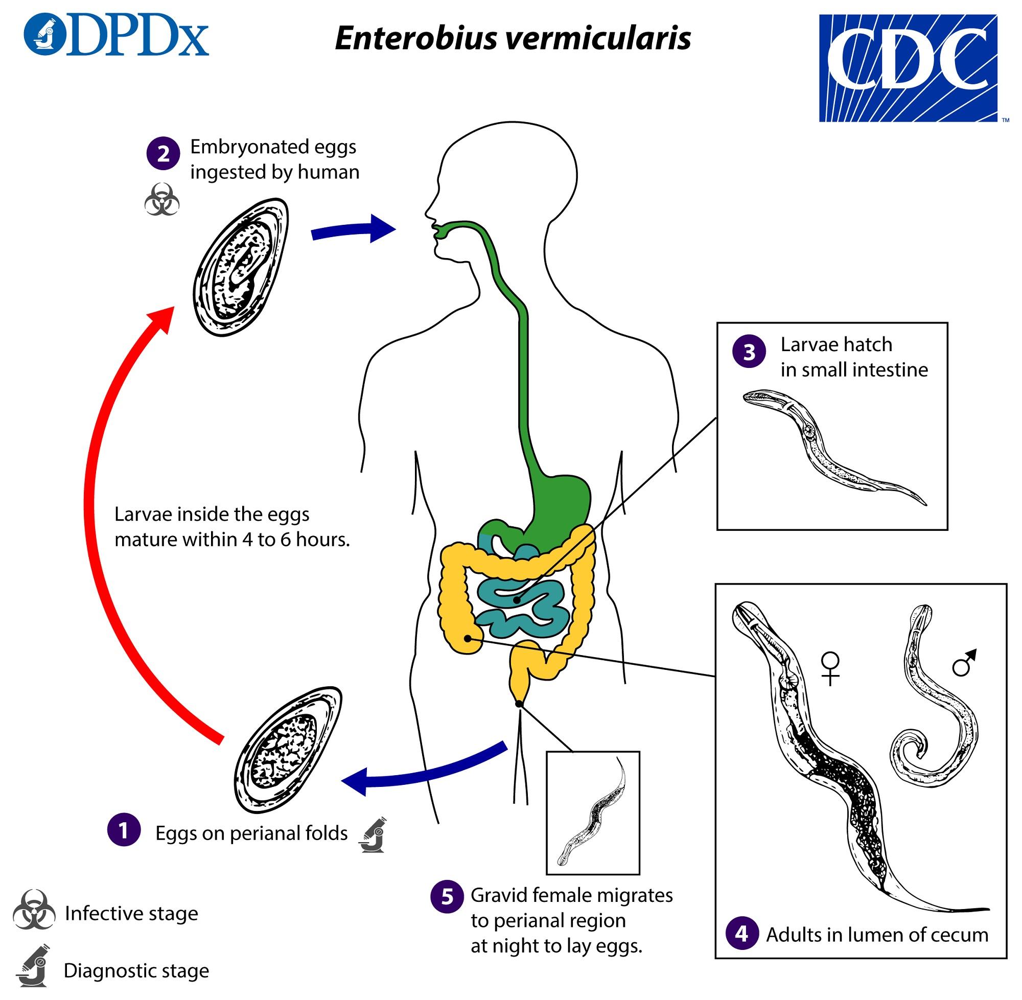 enterobius vermicularis ciclo biologico cdc)