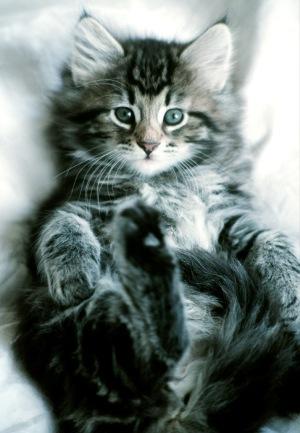 oxiuri la pisica