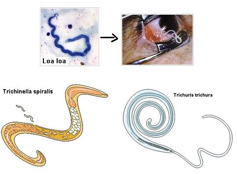 Manechin hewan nemathelminthes