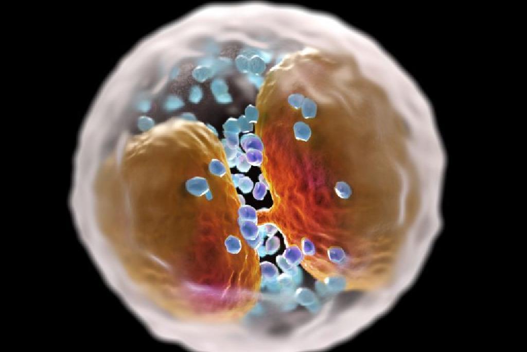 ce tipuri de globule albe atacă paraziții