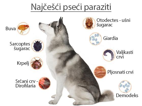 paraziti kod macke simptomi