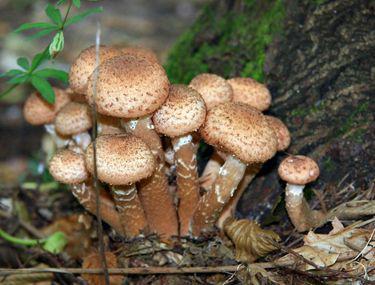 toți ciupercile sunt paraziți