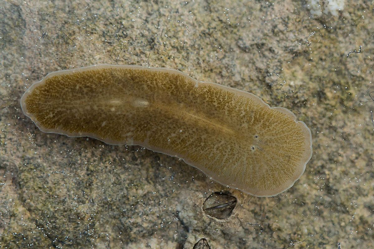 Exemple de platyhelminthes de specii