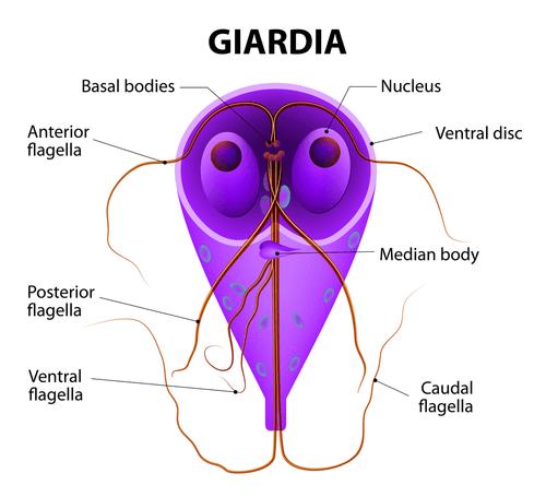 Giardiasis în recomandări clinice pentru copii - anvelope-janteauto.ro