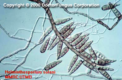 jamur helminthosporium oryzae