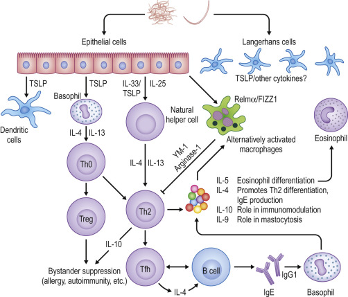 helminth infection immune response