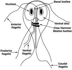 Duodenitis – Wikipedia., Giardia la om simptome