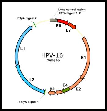 Hpv virus genome