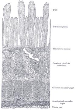 glandule duodenalis)