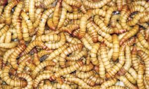 acești viermi - Traducere în italiană - exemple în română | Reverso Context