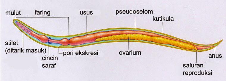 filum nemathelminthes mai multe nematode