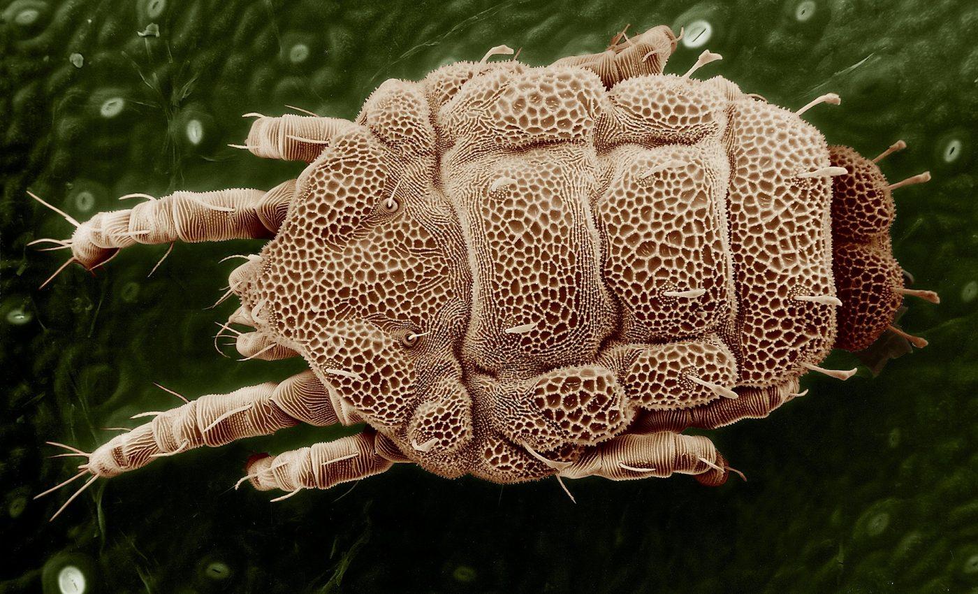 ce paraziti de insecte