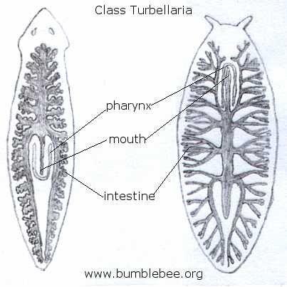 filo platyhelminthes grad turbellaria)