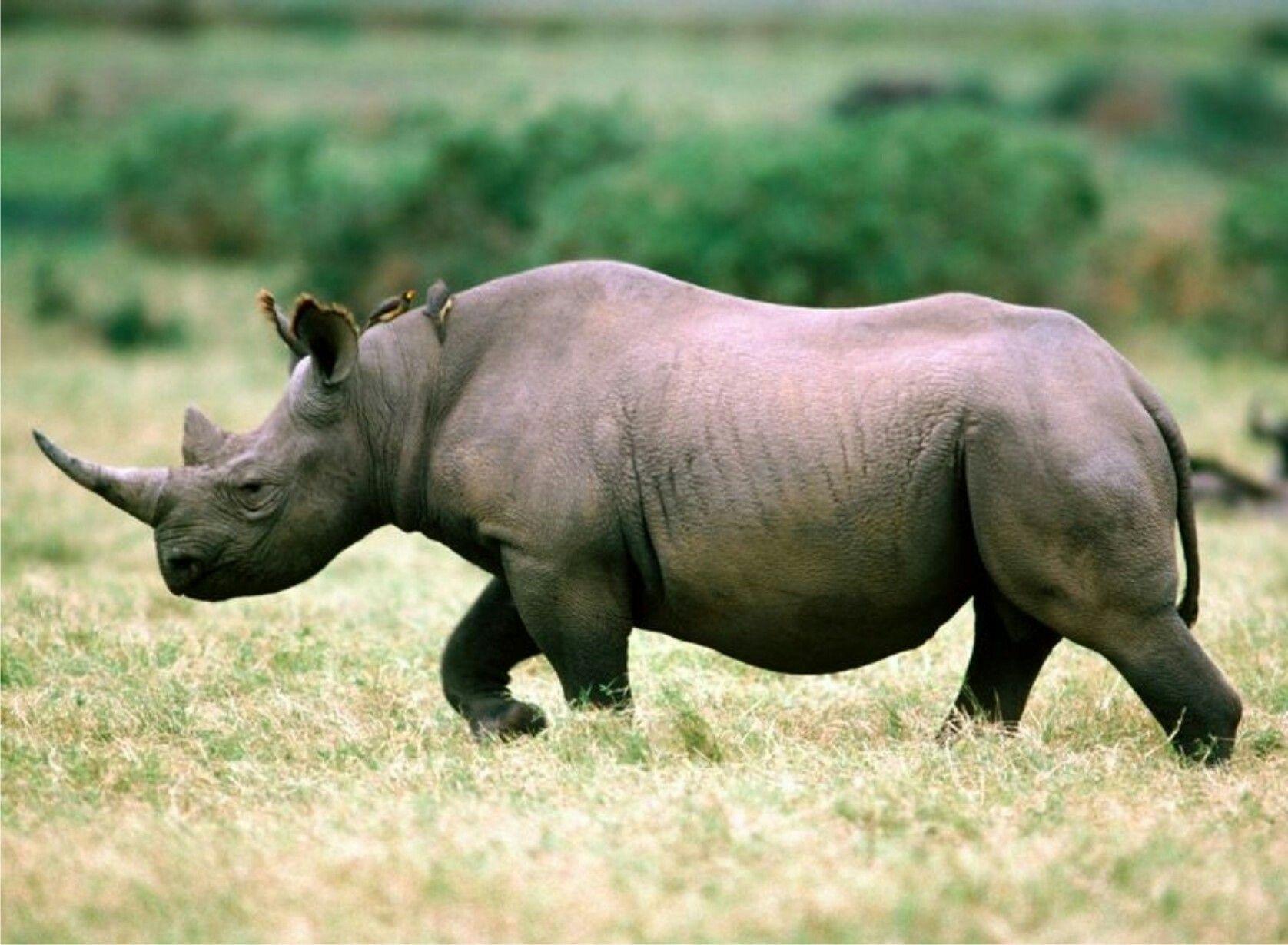 Unde locuiește rinocerul. Unde trăiește rinocerul - un om inofensiv de turtă dulce javaneză