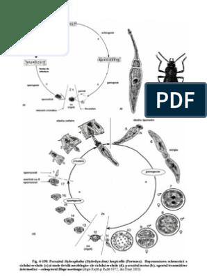 Que son parasitos oxiuros Oxiuros tratamiento parasitos