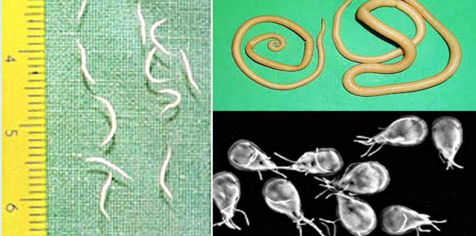 parasitos en oxiuros