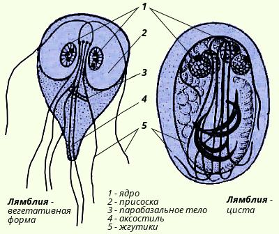 sheltie deparazitare papiloame pe corp și gât